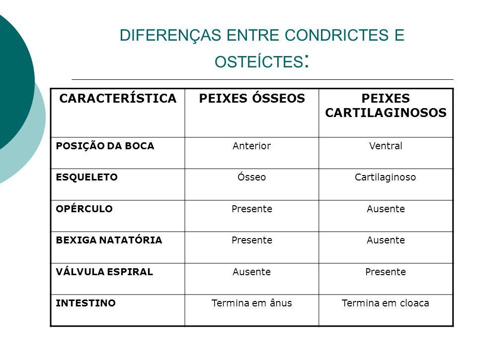 DIFERENÇAS ENTRE CONDRICTES E OSTEÍCTES : CARACTERÍSTICAPEIXES ÓSSEOSPEIXES CARTILAGINOSOS POSIÇÃO DA BOCAAnteriorVentral ESQUELETOÓsseoCartilaginoso
