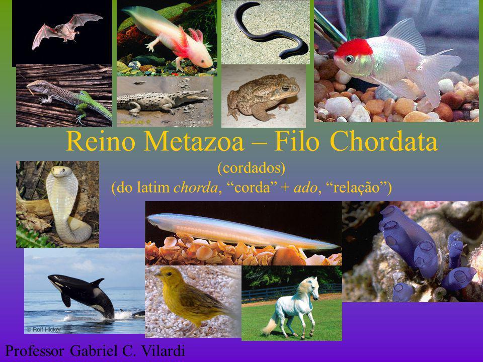 Reino Metazoa – Filo Chordata II)Subfilo Vertebrata (vertebrados)  Características gerais:  Sistema respiratório: pulmonar.