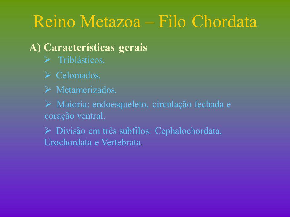 Reino Metazoa – Filo Chordata B) Características exclusivas:  Tubo nervoso dorsal.