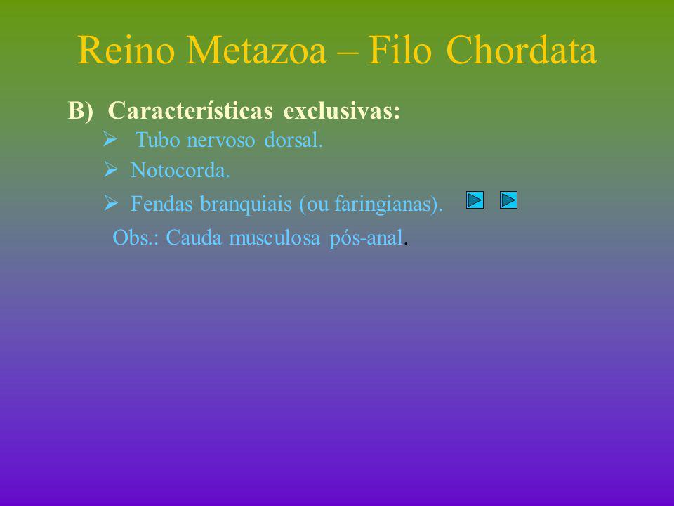 Reino Metazoa – Filo Chordata I)Protocordados  Grupo formado pelos subfilos Urochordata e Cephalochordata.