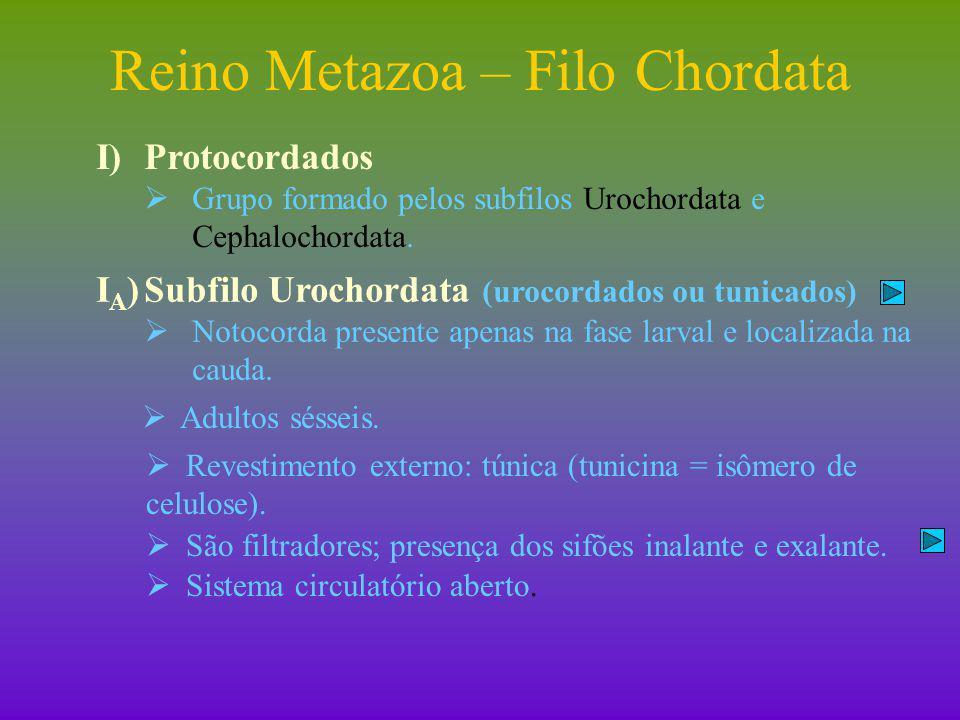 Reino Metazoa – Filo Chordata I)Protocordados I A )Subfilo Urochordata  Reprodução:  Sexuada.