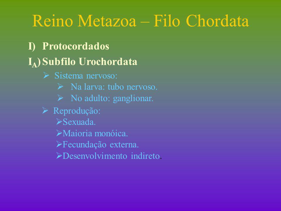 Reino Metazoa – Filo Chordata I)Protocordados I B ) Subfilo Cephalochordata (cefalocordados)  Filtradores.