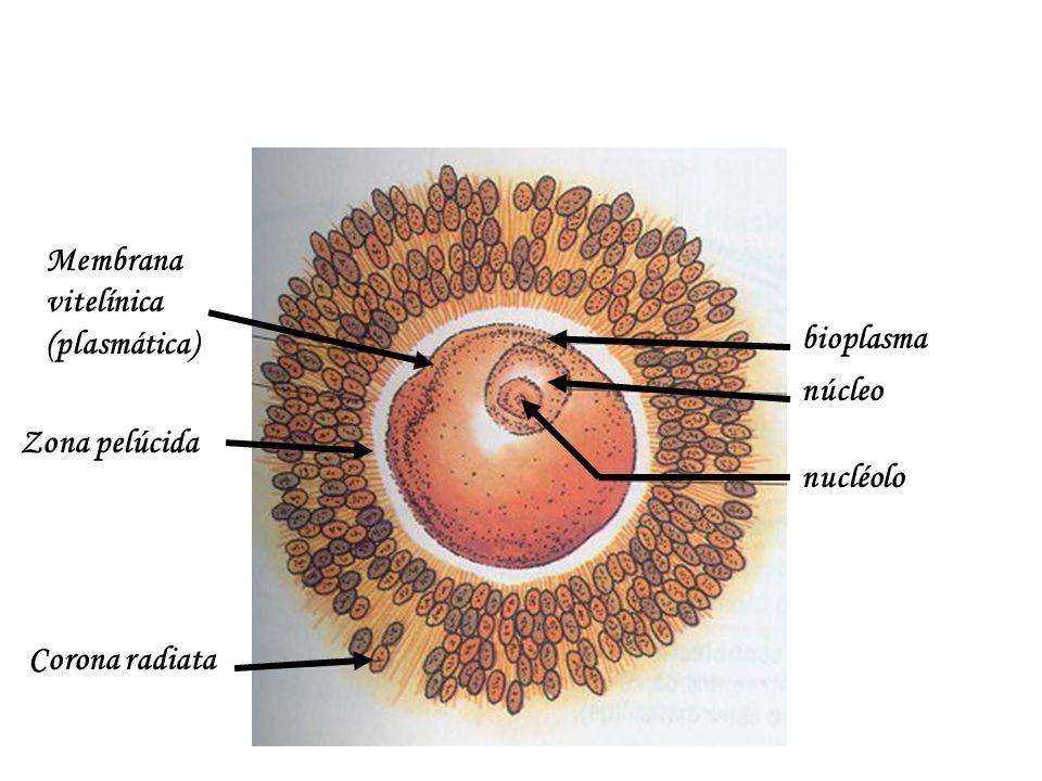 Membrana vitelínica (plasmática) bioplasma núcleo nucléolo Corona radiata Zona pelúcida