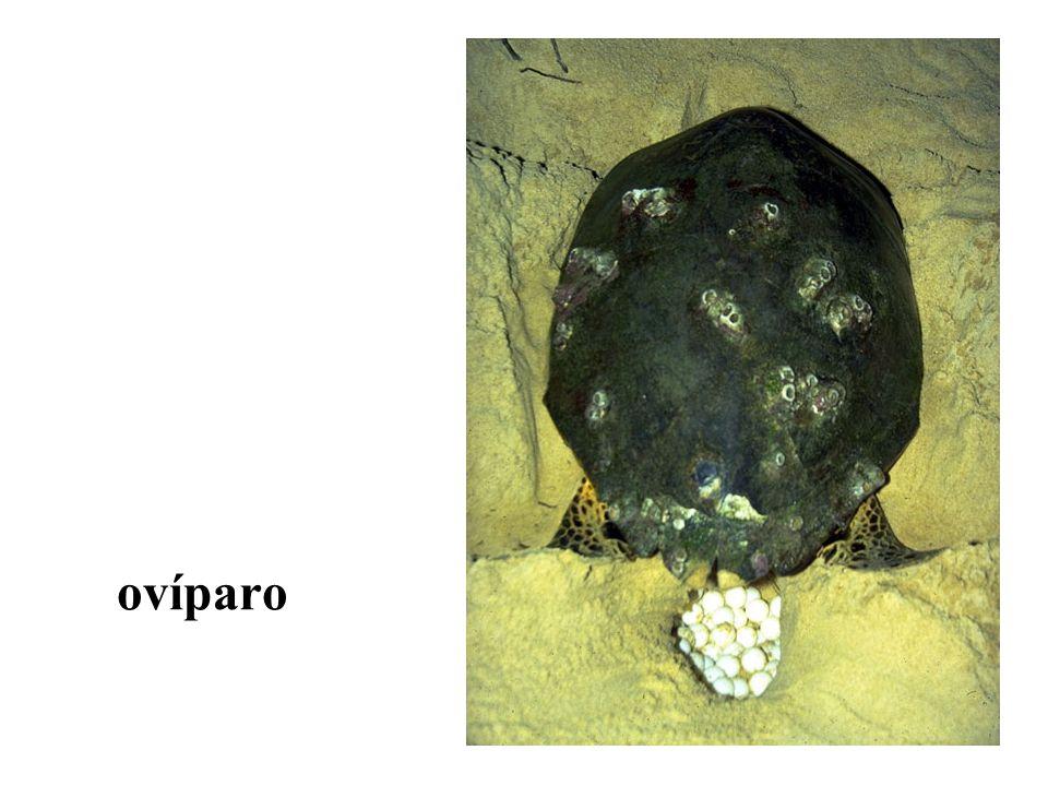 ovovivíparo