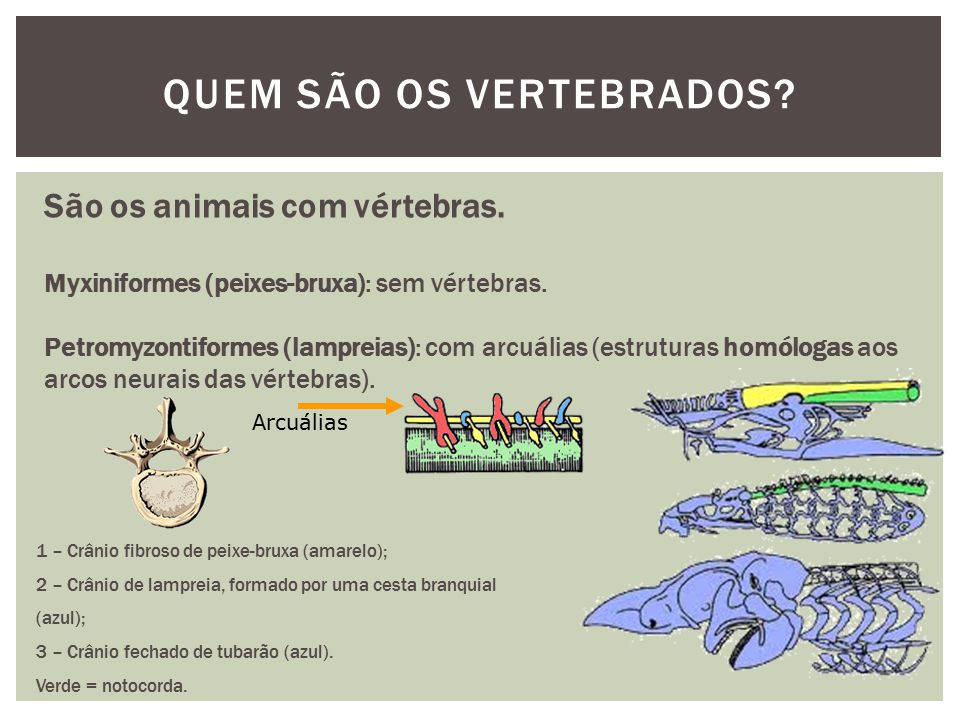 QUEM SÃO OS VERTEBRADOS? São os animais com vértebras. Myxiniformes (peixes-bruxa): sem vértebras. Petromyzontiformes (lampreias): com arcuálias (estr