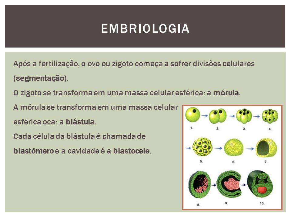 EMBRIOLOGIA Após a fertilização, o ovo ou zigoto começa a sofrer divisões celulares (segmentação). O zigoto se transforma em uma massa celular esféric