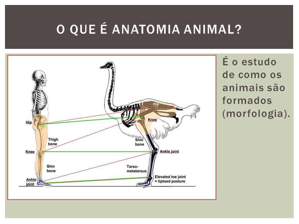 É o estudo de como os animais são formados (morfologia). O QUE É ANATOMIA ANIMAL?