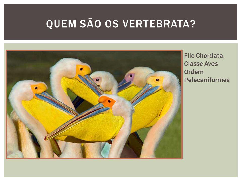 QUEM SÃO OS VERTEBRATA? Filo Chordata, Classe Aves Ordem Pelecaniformes