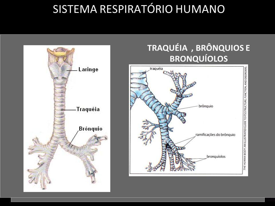 SISTEMA RESPIRATÓRIO HUMANO FOSSAS NASAIS LARINGE TRAQUÉIA, BRÔNQUIOS E BRONQUÍOLOS