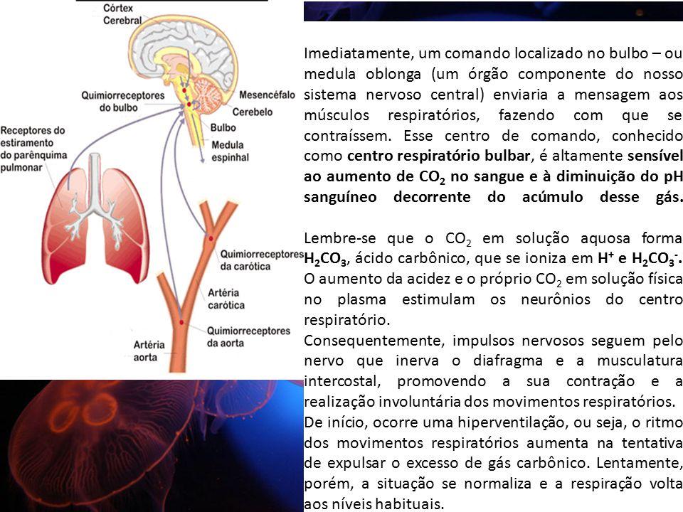 Imediatamente, um comando localizado no bulbo – ou medula oblonga (um órgão componente do nosso sistema nervoso central) enviaria a mensagem aos múscu