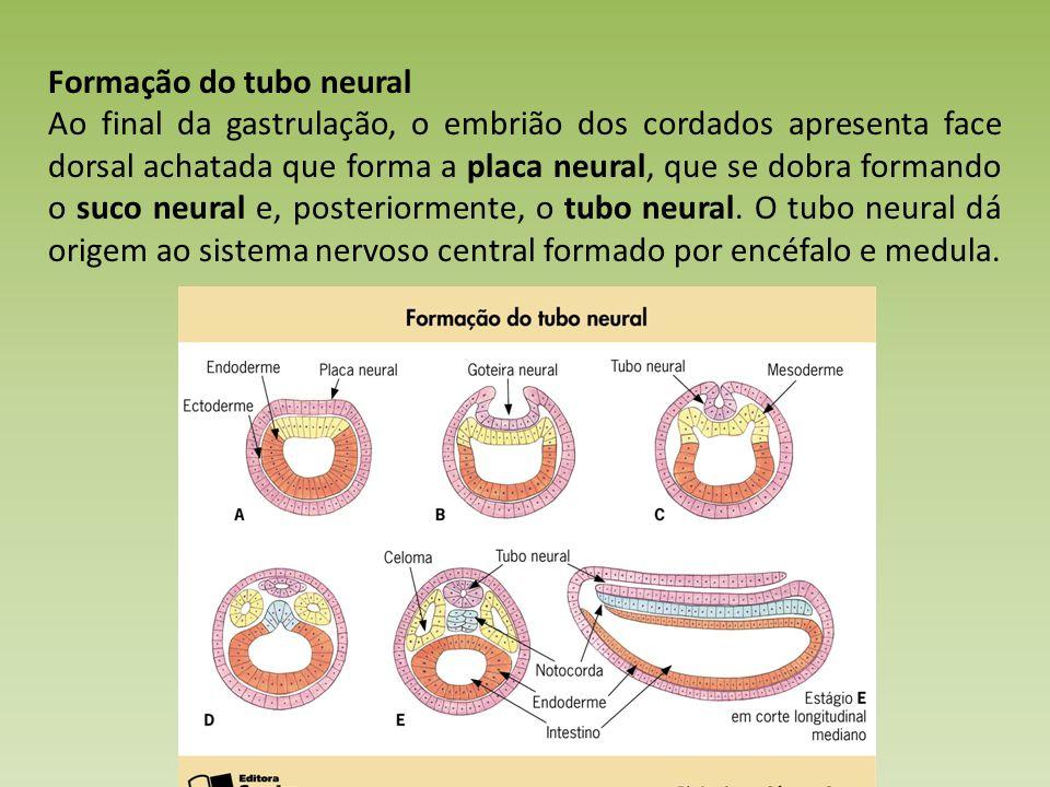Formação do tubo neural Ao final da gastrulação, o embrião dos cordados apresenta face dorsal achatada que forma a placa neural, que se dobra formando o suco neural e, posteriormente, o tubo neural.