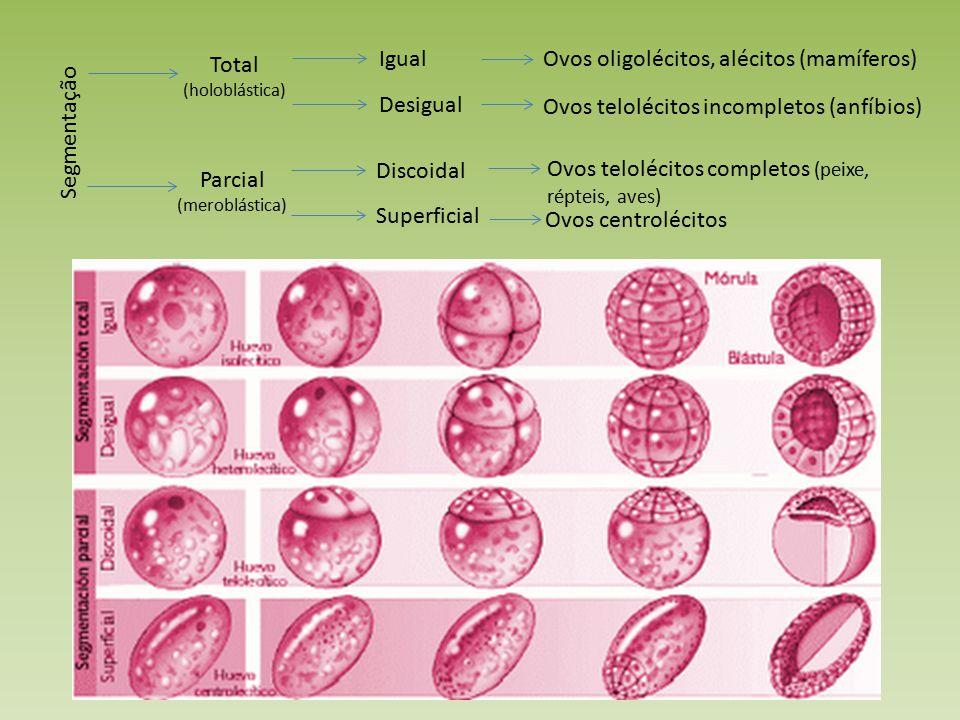 Segmentação Total (holoblástica) Parcial (meroblástica) Igual Desigual Ovos oligolécitos, alécitos (mamíferos) Ovos telolécitos incompletos (anfíbios) Discoidal Superficial Ovos telolécitos completos (peixe, répteis, aves) Ovos centrolécitos