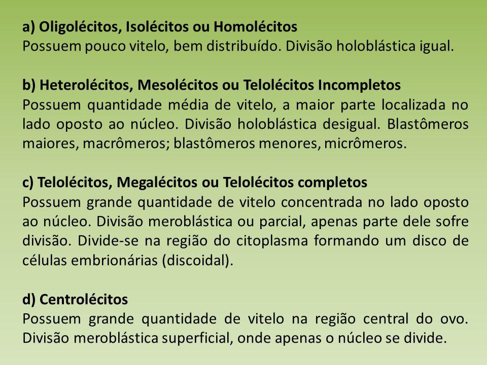 a) Oligolécitos, Isolécitos ou Homolécitos Possuem pouco vitelo, bem distribuído.