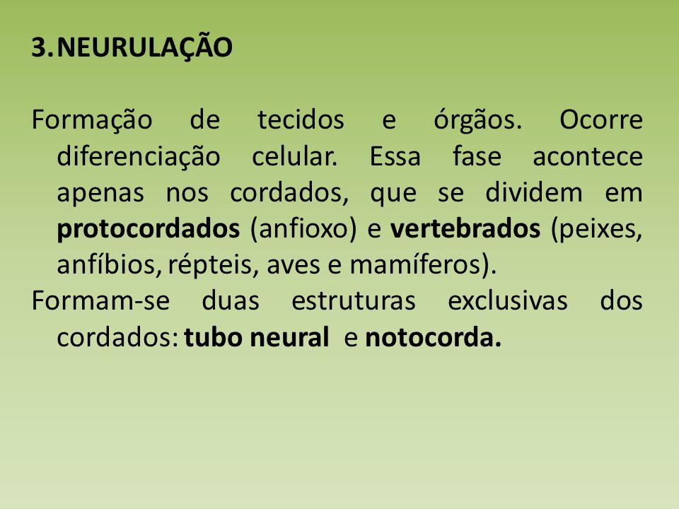 3.NEURULAÇÃO Formação de tecidos e órgãos.Ocorre diferenciação celular.