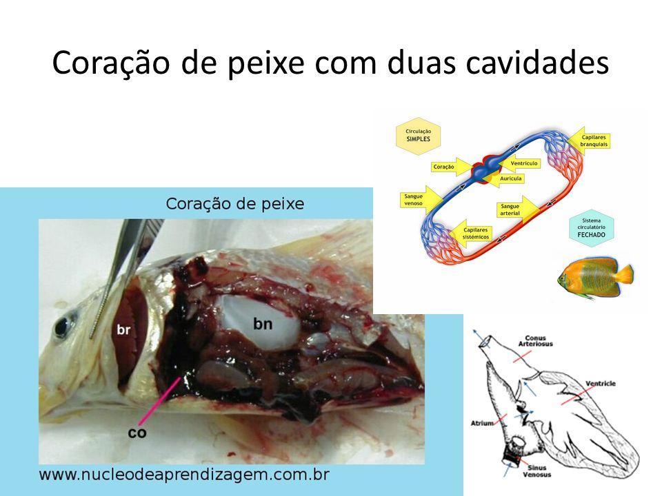 Coração de peixe com duas cavidades
