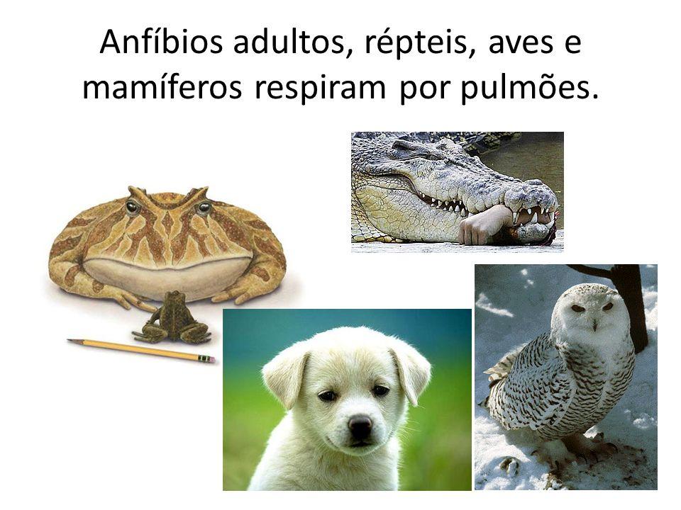 Anfíbios adultos, répteis, aves e mamíferos respiram por pulmões.