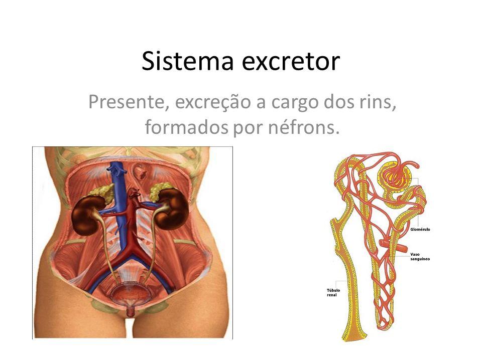 Sistema excretor Presente, excreção a cargo dos rins, formados por néfrons.