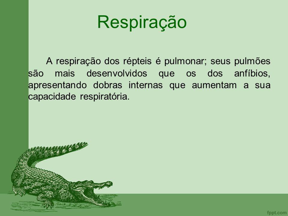 Respiração A respiração dos répteis é pulmonar; seus pulmões são mais desenvolvidos que os dos anfíbios, apresentando dobras internas que aumentam a s