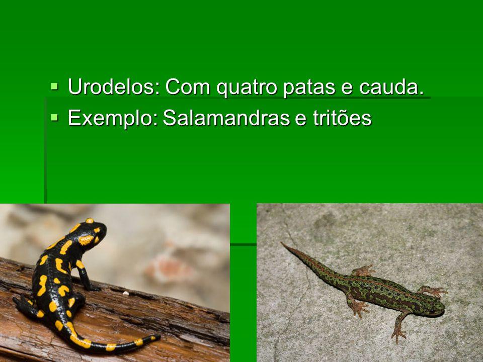  Urodelos: Com quatro patas e cauda.  Exemplo: Salamandras e tritões