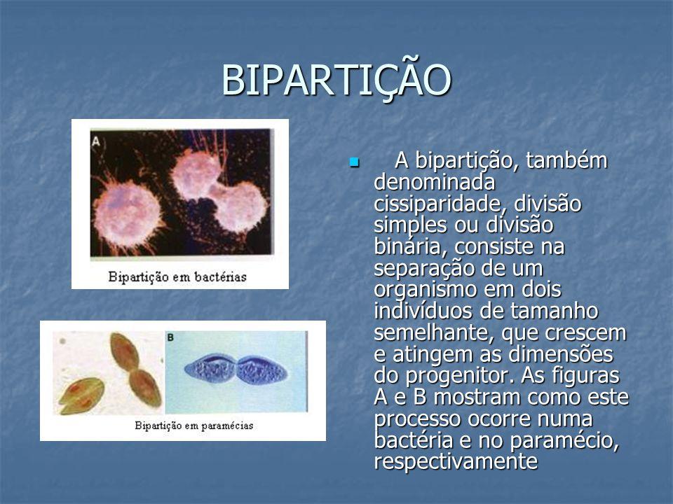 BIPARTIÇÃO A bipartição, também denominada cissiparidade, divisão simples ou divisão binária, consiste na separação de um organismo em dois indivíduos de tamanho semelhante, que crescem e atingem as dimensões do progenitor.