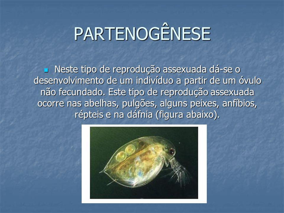 REPRODUÇÃO SEXUADA A reprodução sexuada está dependente da fecundação, ou seja, da união de duas células especializadas, denominadas gametas.