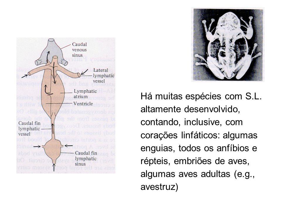 """Funções I Basicamente, o S.L. drena o fluído não reabsorvido na porção venosa do capilar. Além disso, há um pequeno """"vazamento"""" de proteínas para os t"""