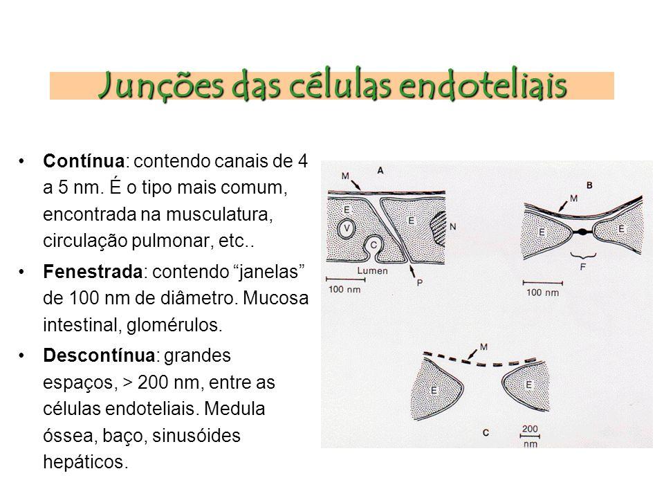 Junções das células endoteliais Contínua: contendo canais de 4 a 5 nm.