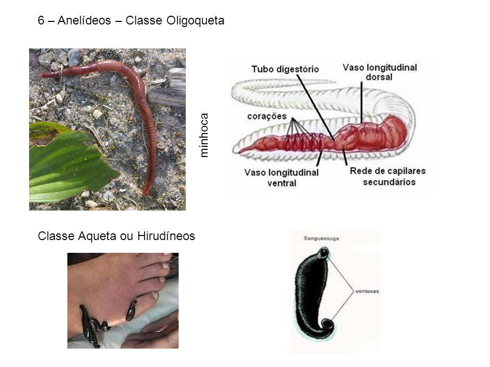 6 – Anelídeos – Classe Oligoqueta minhoca Classe Aqueta ou Hirudíneos