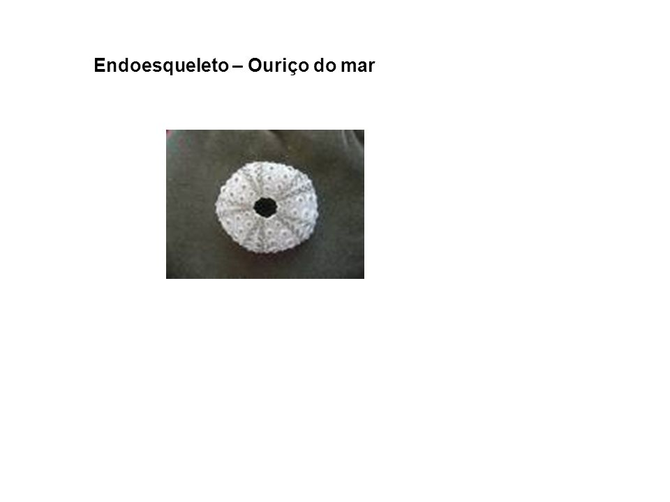 Endoesqueleto – Ouriço do mar