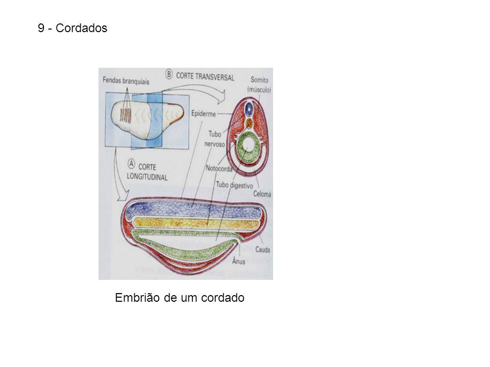 9 - Cordados Embrião de um cordado