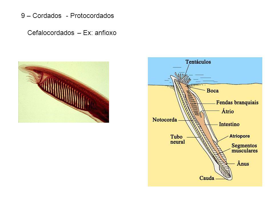 9 – Cordados - Protocordados Cefalocordados – Ex: anfioxo