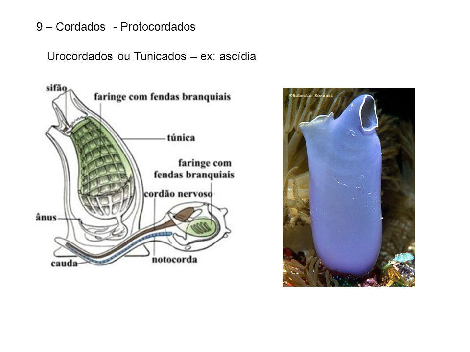 9 – Cordados - Protocordados Urocordados ou Tunicados – ex: ascídia