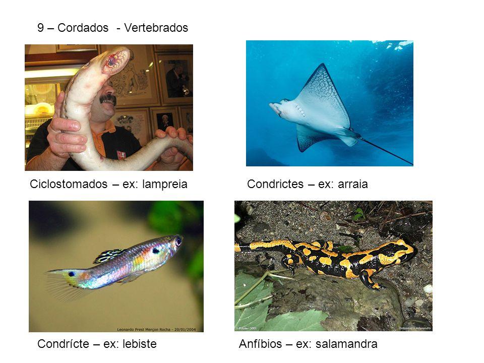 9 – Cordados - Vertebrados Ciclostomados – ex: lampreiaCondrictes – ex: arraia Condrícte – ex: lebisteAnfíbios – ex: salamandra