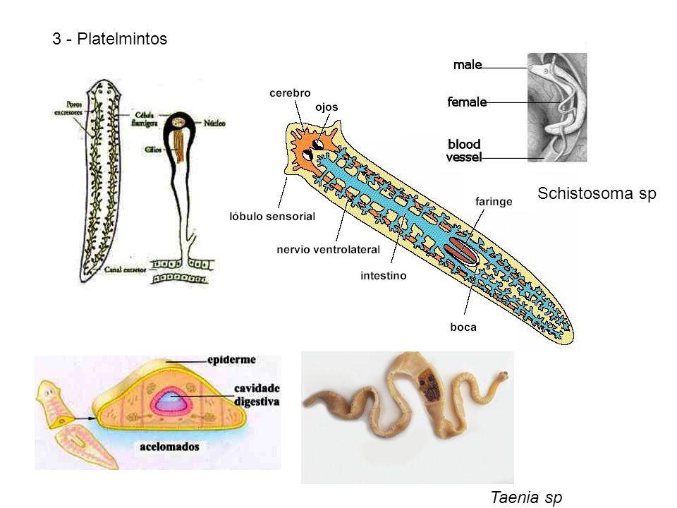 3 - Platelmintos Taenia sp Schistosoma sp