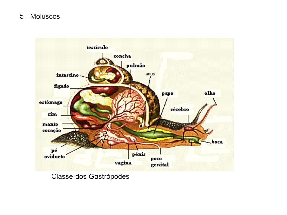 5 - MoluscosClasse dos Bivalves