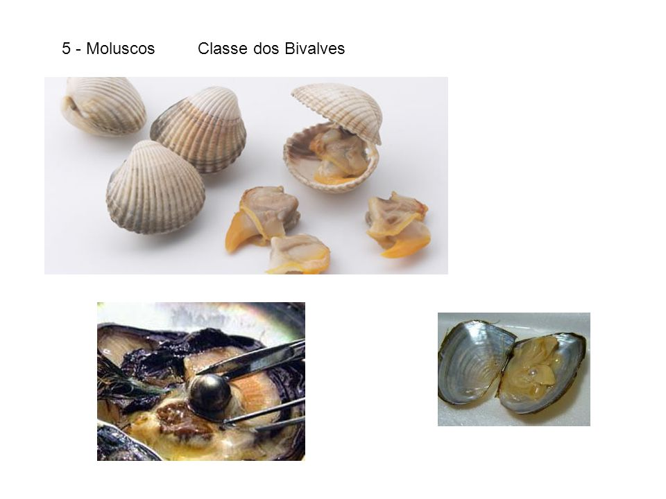 Polvo Lula Náutilus 5 – Moluscos – Classe dos Cefalópodes