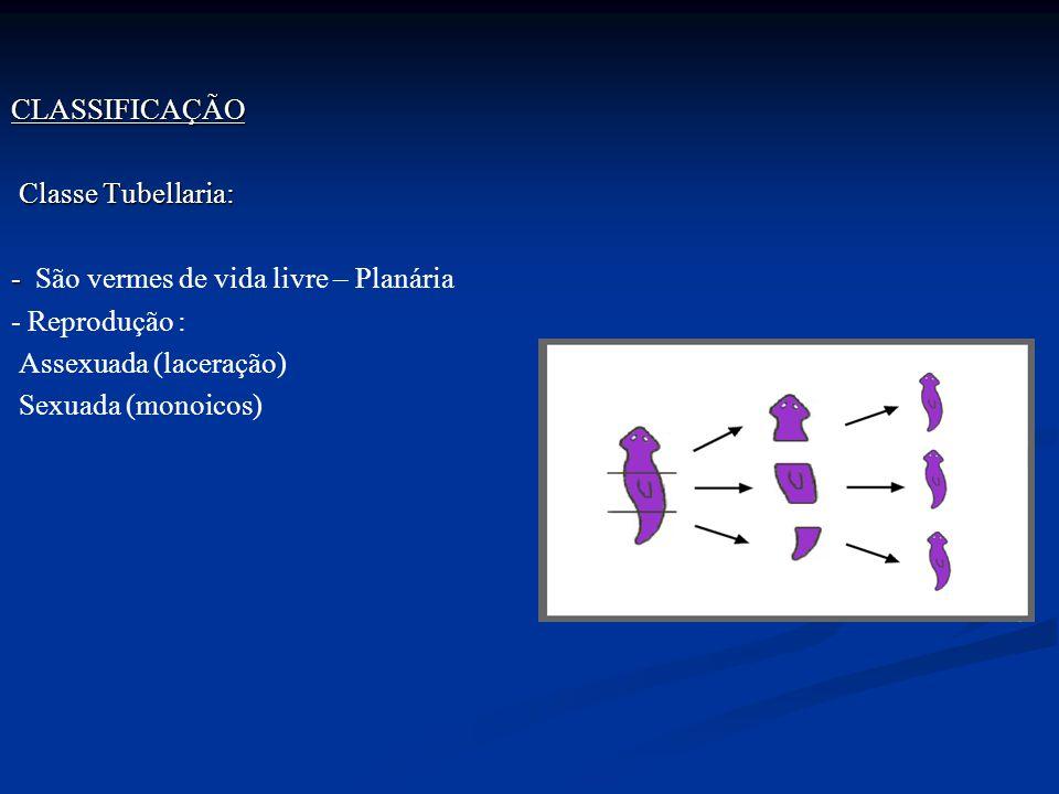 CLASSIFICAÇÃO Classe Tubellaria: Classe Tubellaria: - - São vermes de vida livre – Planária - Reprodução : Assexuada (laceração) Sexuada (monoicos)