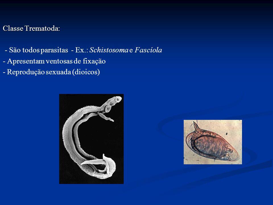 Classe Trematoda: - São todos parasitas - Ex.: Schistosoma e Fascíola - Apresentam ventosas de fixação - Reprodução sexuada (dioicos)