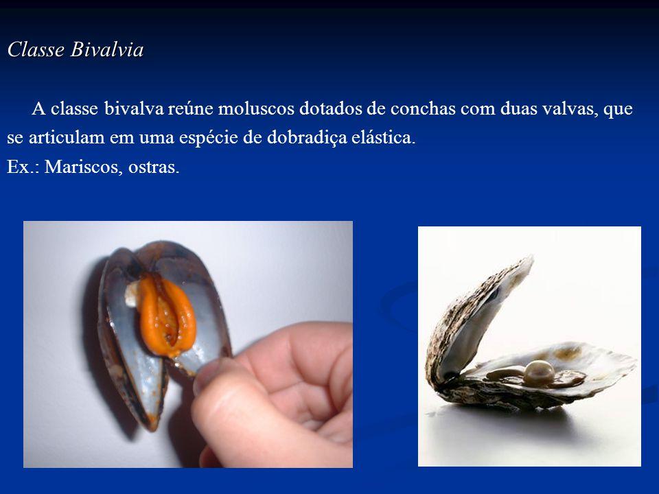 Classe Bivalvia A classe bivalva reúne moluscos dotados de conchas com duas valvas, que se articulam em uma espécie de dobradiça elástica. Ex.: Marisc