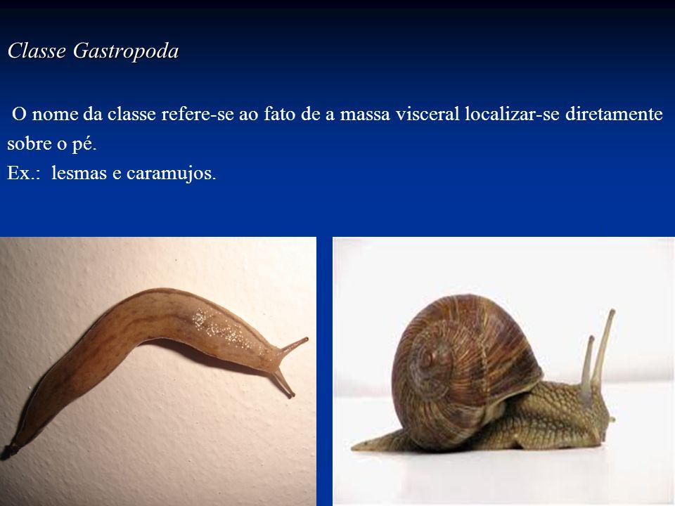Classe Gastropoda O nome da classe refere-se ao fato de a massa visceral localizar-se diretamente sobre o pé. Ex.: lesmas e caramujos.