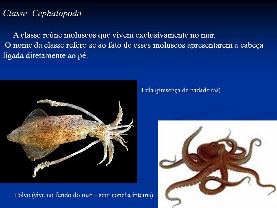 Polvo (vive no fundo do mar – sem concha interna) Lula (presença de nadadeiras) Classe Cephalopoda A classe reúne moluscos que vivem exclusivamente no