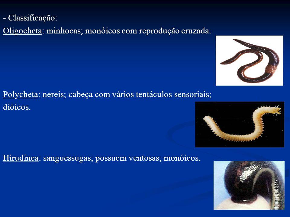 - Classificação: Oligocheta: minhocas; monóicos com reprodução cruzada. Polycheta: nereis; cabeça com vários tentáculos sensoriais; dióicos. Hirudínea