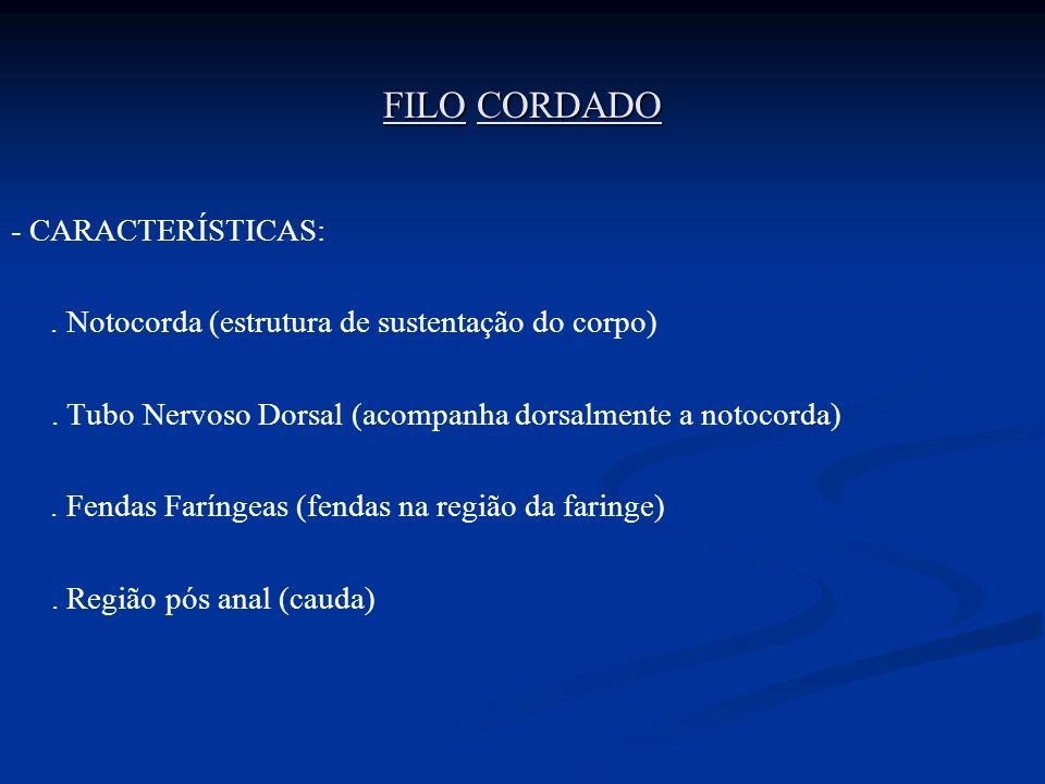 FILO CORDADO - CARACTERÍSTICAS:. Notocorda (estrutura de sustentação do corpo). Tubo Nervoso Dorsal (acompanha dorsalmente a notocorda). Fendas Faríng
