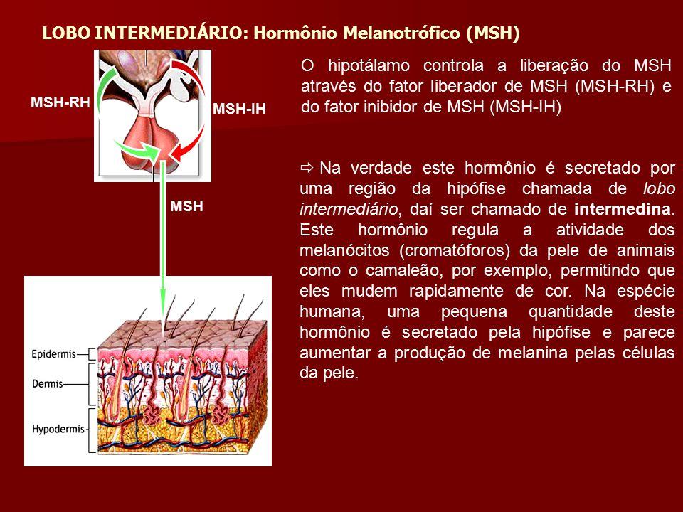 MSH-RH MSH-IH MSH  Na verdade este hormônio é secretado por uma região da hipófise chamada de lobo intermediário, daí ser chamado de intermedina. Est