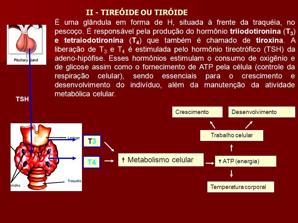 É uma glândula em forma de H, situada à frente da traquéia, no pescoço. É responsável pela produção do hormônio triiodotironina (T 3 ) e tetraiodotiro