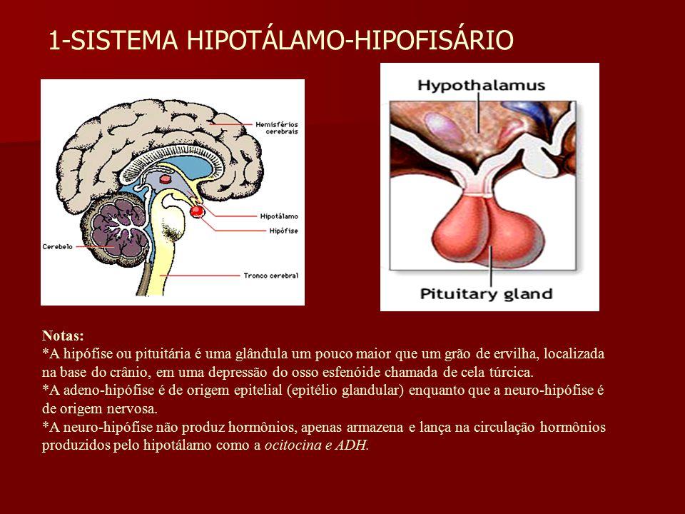1-SISTEMA HIPOTÁLAMO-HIPOFISÁRIO Notas: *A hipófise ou pituitária é uma glândula um pouco maior que um grão de ervilha, localizada na base do crânio,