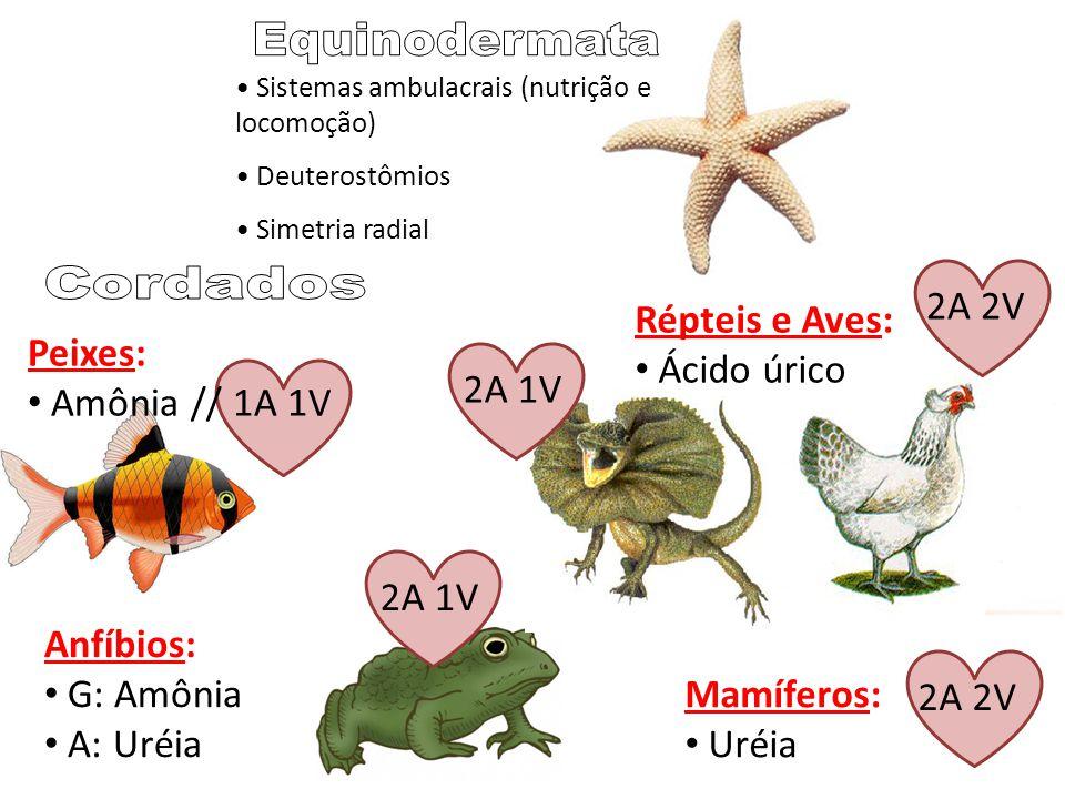 Sistemas ambulacrais (nutrição e locomoção) Deuterostômios Simetria radial Peixes: Amônia // 1A 1V Anfíbios: G: Amônia A: Uréia Répteis e Aves: Ácido úrico Mamíferos: Uréia 2A 1V 2A 2V