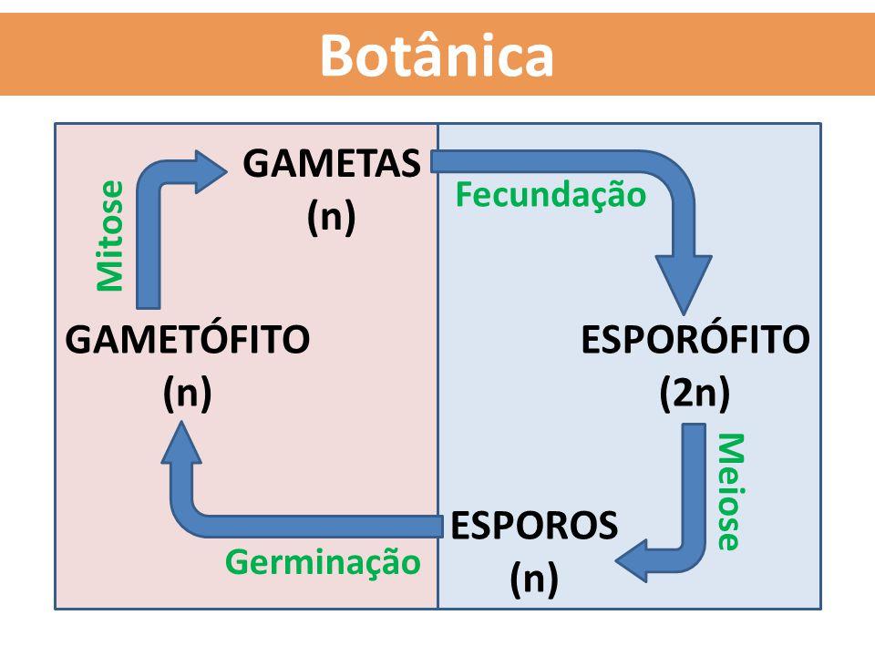 Botânica GAMETÓFITO (n) ESPORÓFITO (2n) GAMETAS (n) Fecundação Mitose ESPOROS (n) Meiose Germinação