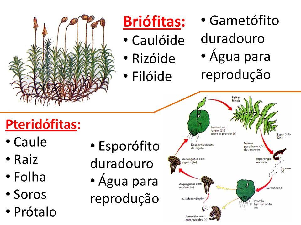 Briófitas: Caulóide Rizóide Filóide Gametófito duradouro Água para reprodução Pteridófitas: Caule Raiz Folha Soros Prótalo Esporófito duradouro Água para reprodução