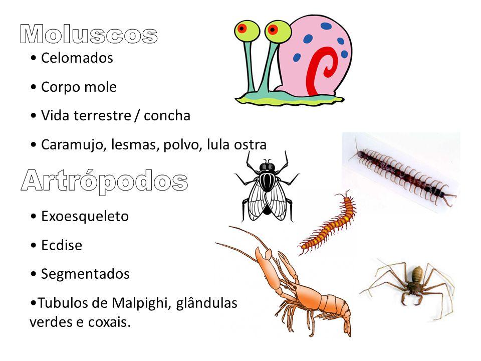 Celomados Corpo mole Vida terrestre / concha Caramujo, lesmas, polvo, lula ostra Exoesqueleto Ecdise Segmentados Tubulos de Malpighi, glândulas verdes e coxais.